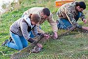 Duck banding, Mallards, Anas platyrhynchos, Lansing, Michigan