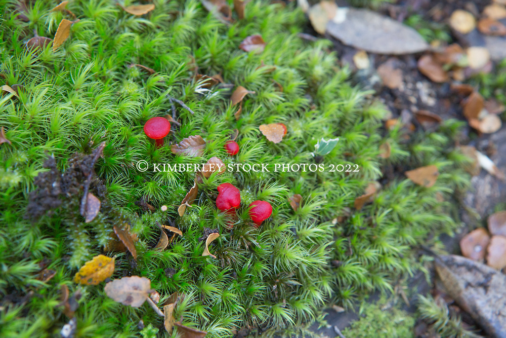 Tiny red fungi growing beside the Lees Paddock Track on the Central Plateau in Northern Tasmania
