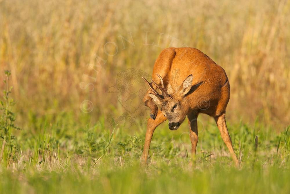 Roe Deer (Capreolus capreolus) buck in set-aside field, scratching itself,  Norfolk, UK.