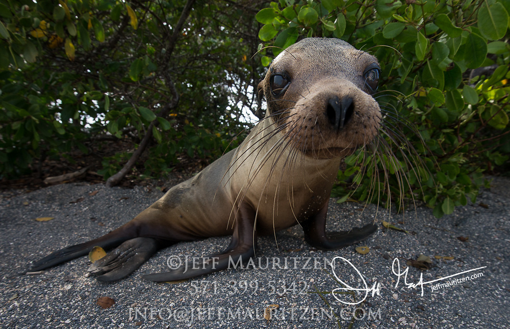 A Galapagos Sea Lion cub waits for its mother to return in the shade of mangrove trees on Fernandina island, Ecuador.