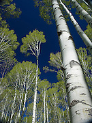 Aspen Trees, Springtime, Colorado Rocky Mountains
