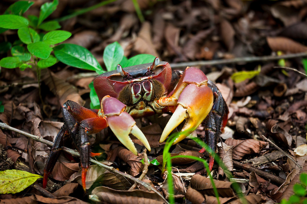 Freshwater jungle crab in Jozani Forest. Zanzibar.