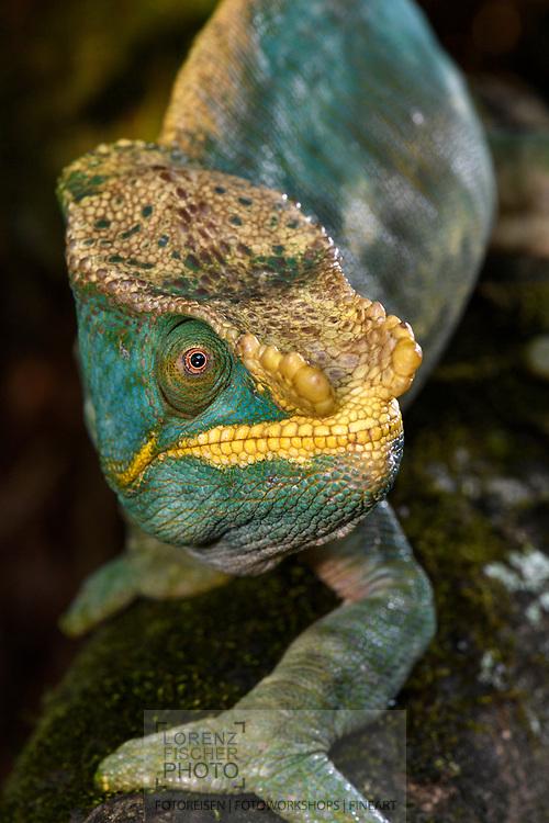 Parsons Cham&auml;leon (Calumma parsonii), Ranomafana, Madagaskar<br /> <br /> Parson's chameleon (Calumma parsonii), Ranomafana, Madagascar
