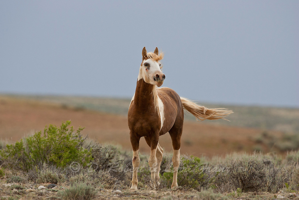 Young wild mustang stallion in Wyoming | Yellowstone ...
