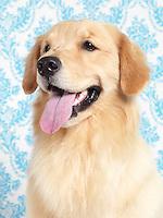 Young beautiful Golden Retriever closeup portrait