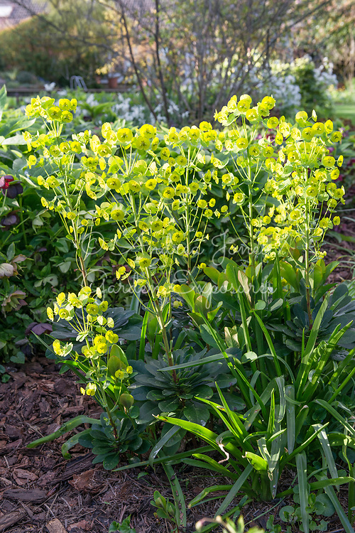 Euphorbia amygdaloides var. robbiae (Wood spurge)