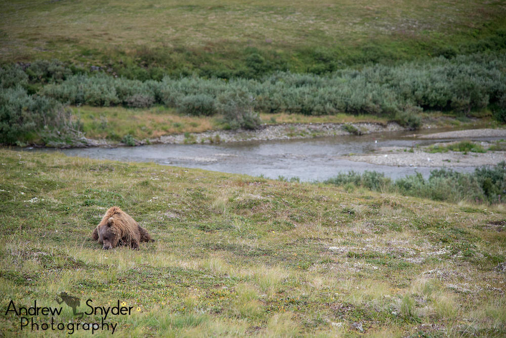 A brown bear (Ursus arctos) in the tundra snacking on blueberries - Katmai, Alaska