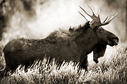 Wall Art of a Moose for Sale- Old looking photograph of a moose in Teton Nation Park, Wyoming. Photo by Colin E. Braley