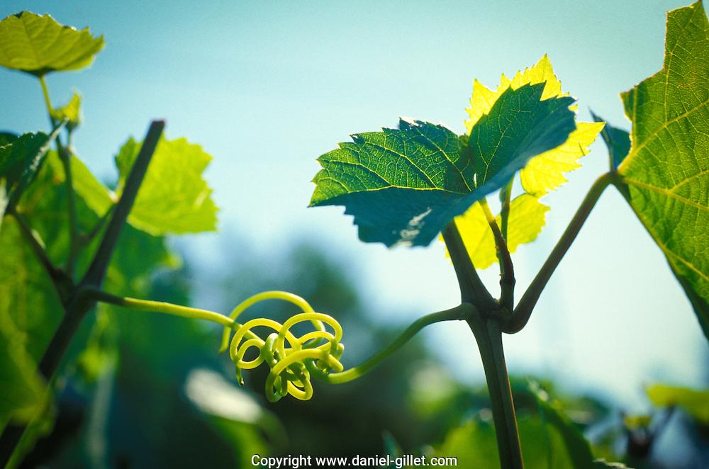 Vrille dans les vignes, Beaujolais