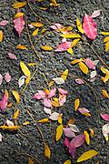 Fall leaves on asphalt.
