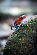 Costa Rica, February 2015. red and blue poison frogs. Ecotourism at Pineapple plantation Finca Sura on the Sarapiqui river. Costa Rica is bestowed with an intense array of biodiversity and environmental attractions - majestic volcanoes, misty cloud forests, stunning river valleys, and hundreds of beaches along the Pacific and Caribbean coasts. Photo by Frits Meyst / MeystPhoto.com