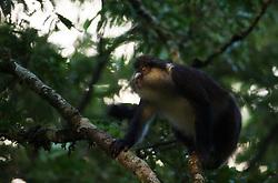 Dent's mona monkey (Cercopithecus denti) in Nyungwe rain forest, Rwanda