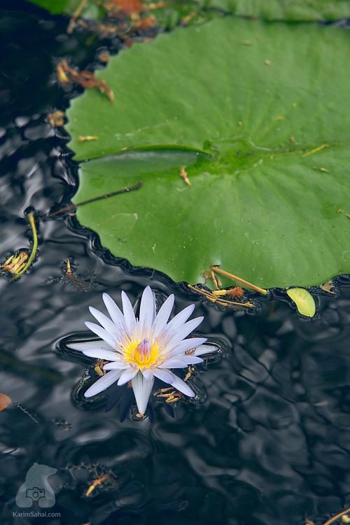 Water lily at the 'Garden of the Sleeping Giant', Nadi, Viti Levu island, Fiji.