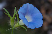 Blue Morning Glory, (Ipomoea lindheimeri), Travis County, Texas