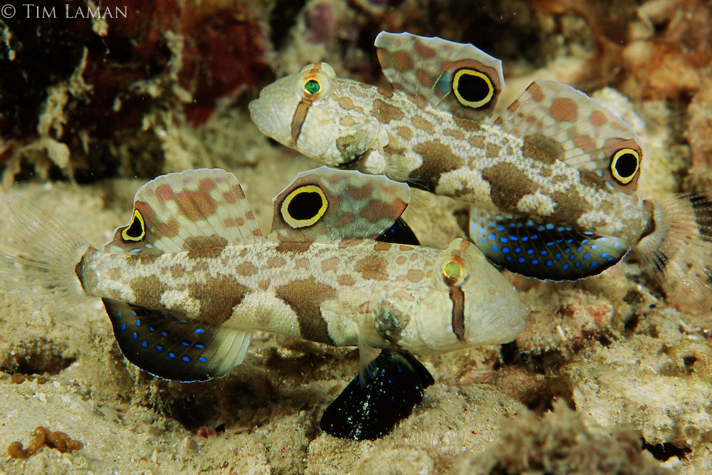 Crab-eyed Gobies displaying.  False eyespots mimic a large predator like a grouper.