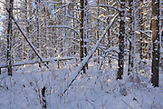 Snow covered trees, Sandilands Provincial Forest, Manitoba, Canada