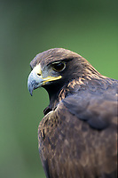 Golden Eagle (Aquila chysaetos) portrait, Monterrey, Nueva Leon, Mexico - Photo: Peter Llewellyn