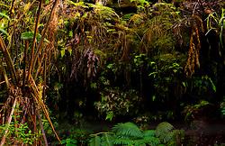 Tropical Foliage near Entrance to Thurston Lava Tube,  Hawai'i Volcanoes National Park, Big Island, Hawaii, US