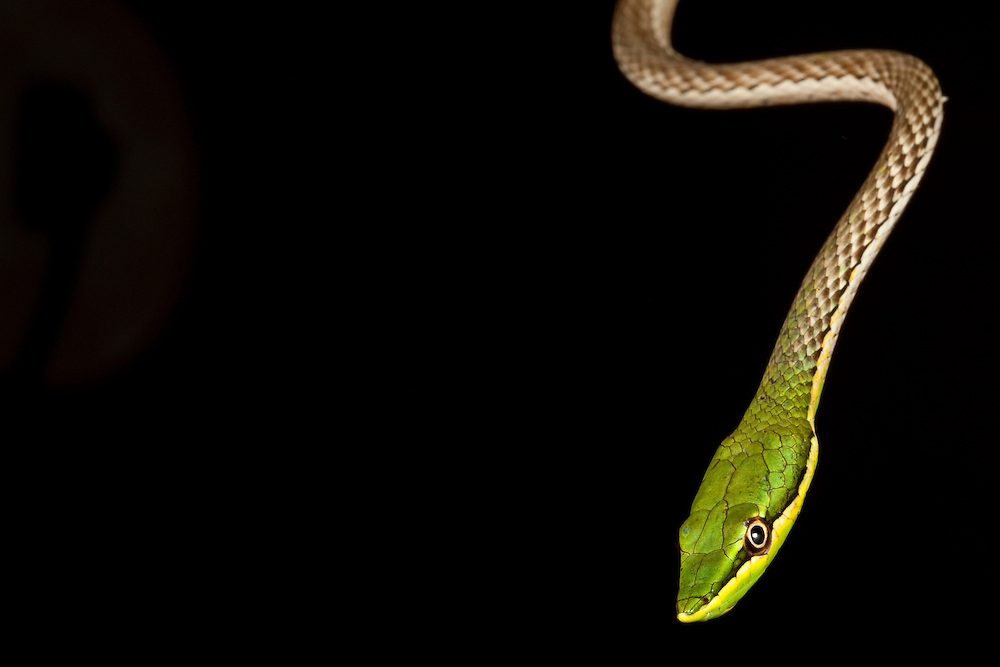Sharp-nosed vinesnake Uromacer frenatus on Ile de La Gonave, Haiti