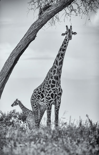 The Giraffe is the tallest terrestrial land animal.