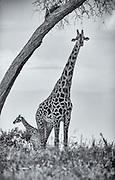 The Giraffe is the tallest terrestrial land animal.