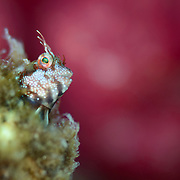 Spotted and barred blenny (Mimoblennius atrocinctus) peeking out from a hole in the coral, with colourful soft coral as a backdrop.