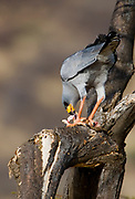 Eastern Chanting Goshawk (Melierax poliopterus) feeding on a squirrel in Samburu NP, Kenya.