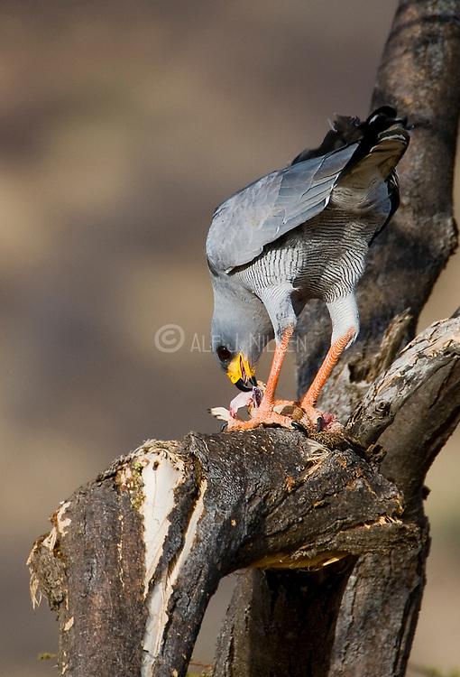 Eastern Chanting Goshawk (Melierax poliopterus) feeding on a squirrel in Samburu NP, Kenya.
