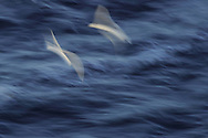 Kittiwakes, Rissa tridactyla, Hornøya Island, Varanger Peninsula, Norway, Scandinavia