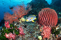 A Sweetlips gets cleaned, surrounded by colorful Corals and Sponges<br /> <br /> Shot in Indonesia