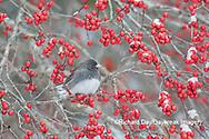 01569-01717 Dark-eyed Junco (Junco hyemalis) in Winterberry bush (Ilex verticillata) Marion Co. IL