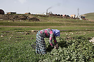 15/02/15 --TANJERO, IRAQ: Ghazal picks green leaves for cooking.<br /> <br /> Ghazal, a Yezidi woman from Sinjar, lives with her displaced family next to an oil refinery in the Kurdish Region of Iraq. Her sons and nephew run the refinery 24 hours a day with little to no safety equipment. Reporting for this article was supported by a grant from the Pulitzer Center on Crisis Reporting