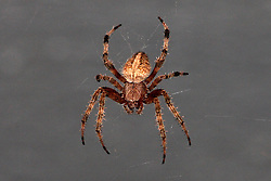05 Aug 2007: Macro of a small spider.  Believed to be an orb weaver. (Photo by Alan Look)