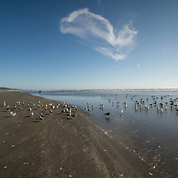 Gulls at Kalaloch Beach, Olympic National Park, Washington, US