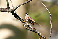 A White Crowned Sparrow is perched on a branch in a stand of aspen trees in the northern Utah Mountains.