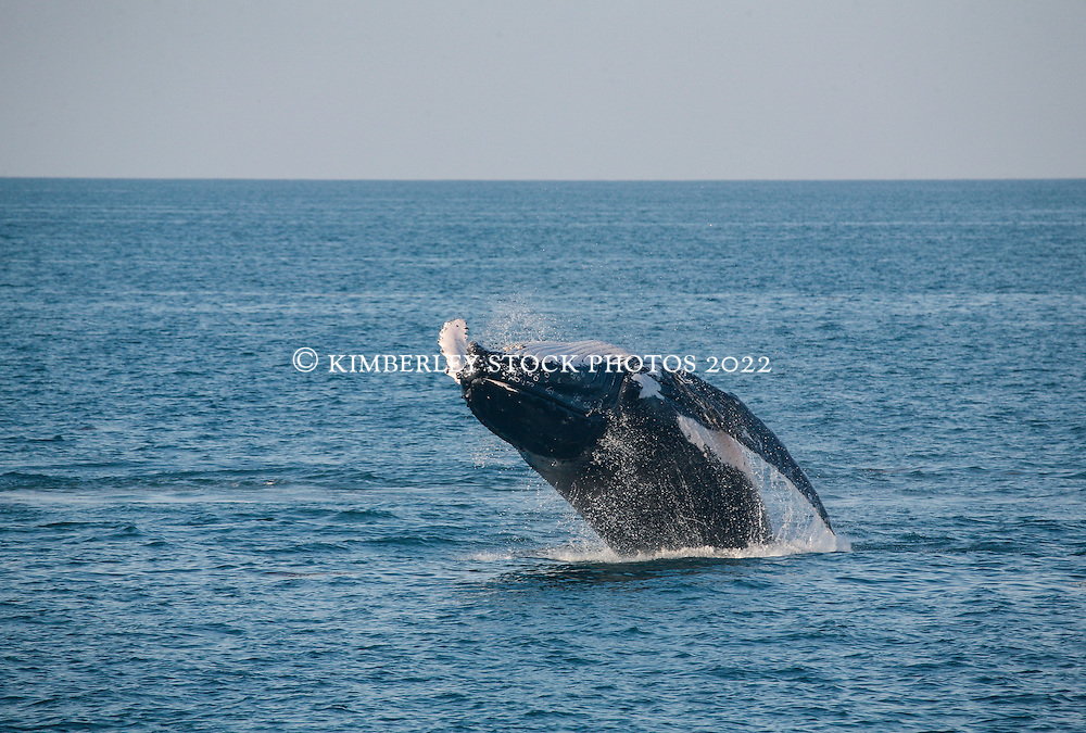 A Humpback whale breaches in Camden Sound on the Kimberley coast.