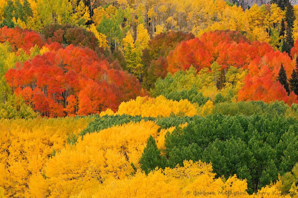 Aspen [Populus tremuloides] forest in autumn color; Kebler Pass, Colorado