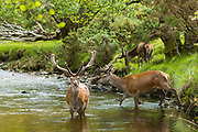 Red Deer stags, Cervus elaphus, with large antlers beside young male in river scene at Lochranza, Isle of Arran, Scotland