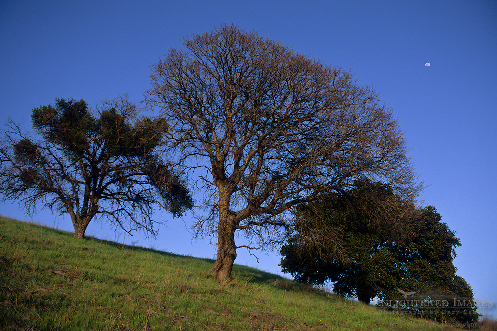 Moon and trees over green hill on the slopes of Mount Diablo State Park, Contra Costa County, CALIFORNIA