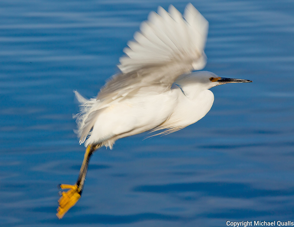 A Snowy Egret taking flight in Lake Murray, San Diego, CA.  USA.