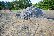 Size comparison between adult nesting female Leatherback Sea Turtle, Dermochelys coriacea, and newborn hatchling. Photographed in Grande Riviere, Trinidad, Caribbean Sea.