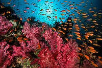 Anthias school and soft corals.