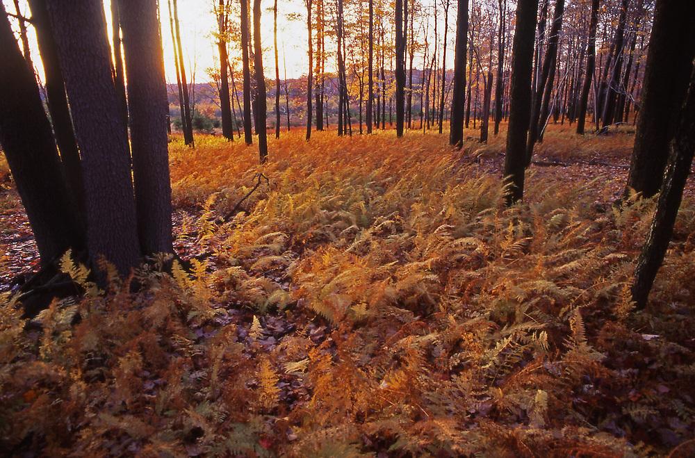 Golden ferns, Quehanna Wild Area, Cameron County, PA, Autumn