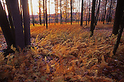 Golden ferns, Quehanna Wild Area, Cameron County, PA, Autumn