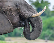 Elephant drinking water from its trunk, Chobe National Park, Botswana, © 2019 David A. Ponton