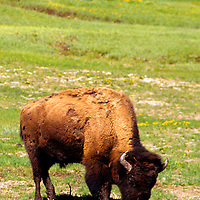 North America, USA, United States, Wyoming, Yellowstone National Park. American Bison.