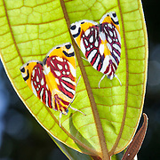 Moths on the underside of a leaf in Kinabalu National Park, Borneo, Malaysia