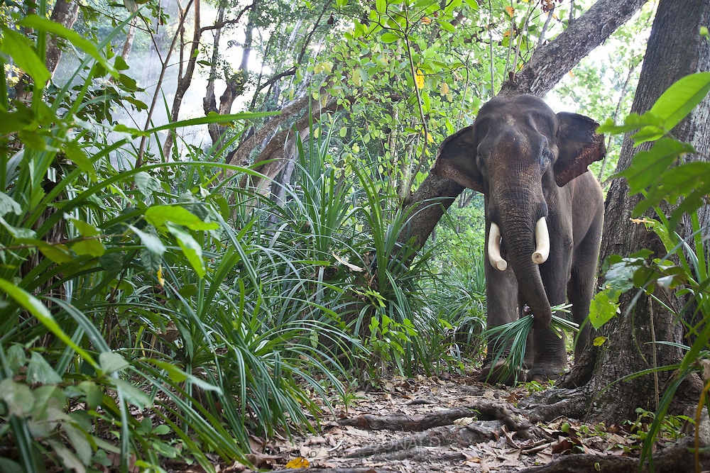 Rajan the elephant spends 95% of his time in the jungle on Havelock island, and  reserves the swimming just for special days