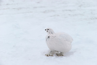 The Ptarmigan is a medium sized bird in the grouse family.  The ptarmigan changes colors with the seasons from white in winter to brown in spring and summer.  This photo was taken on a grey, overcast day and it was almost impossible to see the bird against the white background.