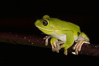 White-lipped Tree Frog (Litoria infrafrenata), also known as Australasian Giant Tree Frog.